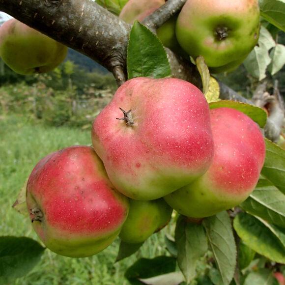 Star Apple Fruit Where To Buy