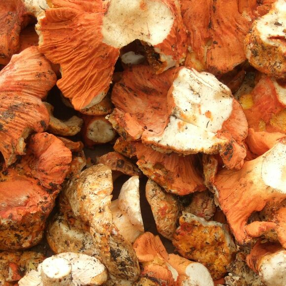 Lobster mushrooms get their name from their color, which resembles the shell of a lobster.