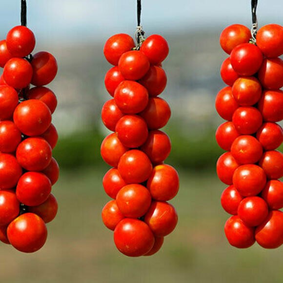 Hanging tomatoes before they're picked.