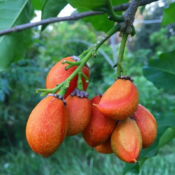 Ripe peanut butter fruit growing in the summer.