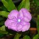 The beautiful Brunfelsia grandiflora flower.