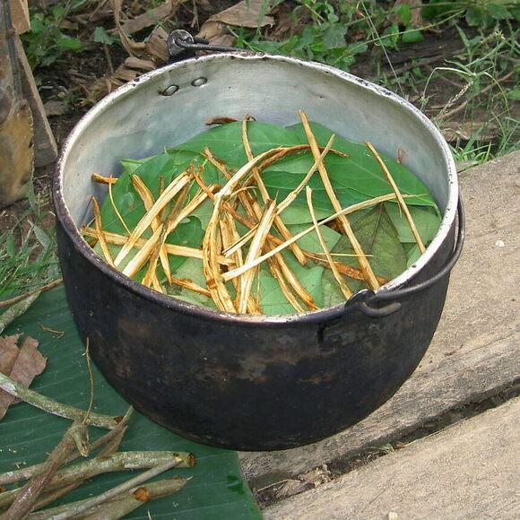 Preparing a batch of ayahuasca tea in Ecuador.