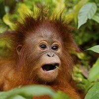 Profile image for Dapper Orangutan
